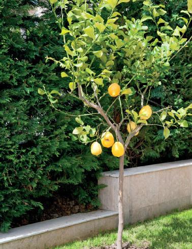 Tiji Limon