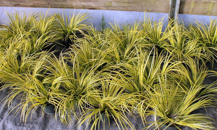 Carex Sarı